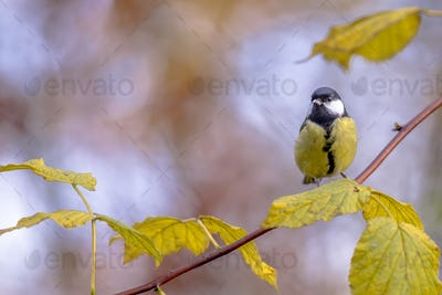 Great tit yellow autumn leaves