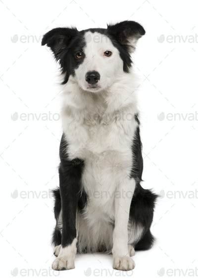 Young Border Collie, 15 months old, sitting in front of white background