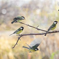 Several Great tit on branch on blurred background