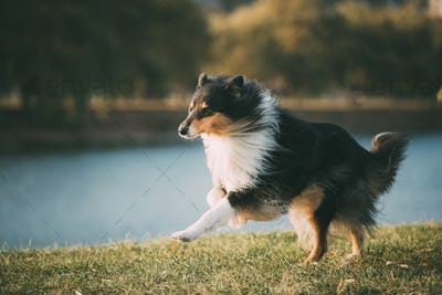 Tricolor Rough Collie, Funny Scottish Collie, Long-haired Collie