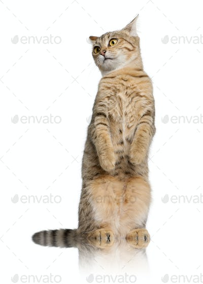 Young Bengal cat, 7 months old, standing in front of white background, studio shot