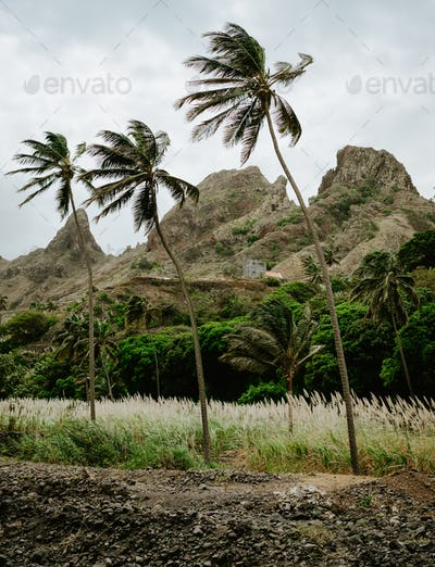 Palm trees near dried-up stream surrounded by fertile green valley and rugged cliffs in background
