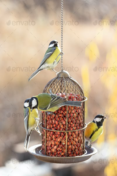 Several great tits eat feed from the feeder.