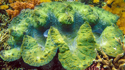 Colorful giant clam Tridacna gigas grows in the shallows of Raja Ampat, Indonesia