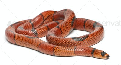 Hypomelanistic aberrant Honduran milk snake, Lampropeltis triangulum hondurensis