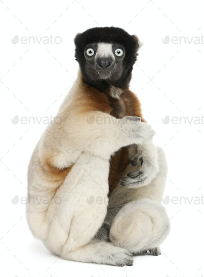 Crowned Sifaka, Propithecus coronatus, 14 years old, sitting in front of white background