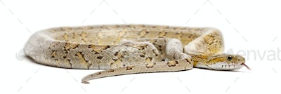 Amber Corn Snake, Pantherophis guttatus, in front of white background