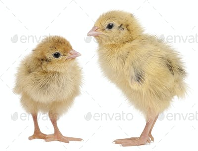 Two Japanese Quail, also known as Coturnix Quail, Coturnix japonica, 3 days old