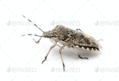 European stink bug, Rhaphigaster nebulosa, in front of white background