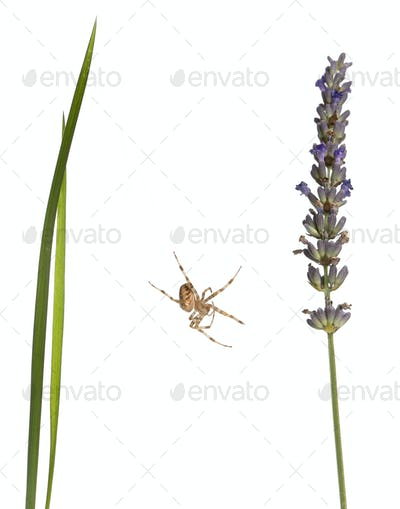 European garden spider, Araneus diadematus, on grass stems in front of white background
