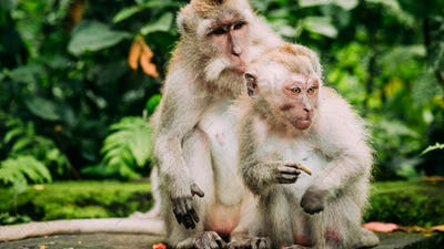 Long-tailed macaque with young ones on forage. Macaca fascicularis, in Sacred Monkey Forest, Ubud
