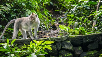 Long-tailed macaques Macaca fascicularis, in Sacred Monkey Forest, Ubud, Indonesia