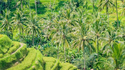 Palm Trees in Tegalalang Rice Terrace, Ubud, Bali, Indonesia