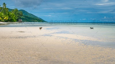 Dogs playing on the Beack near Water Hut of Homestay on Kri Island. Raja Ampat, Indonesia, West