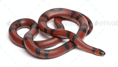 Tangerine Honduran milk snake, Lampropeltis triangulum hondurensis, in front of white background