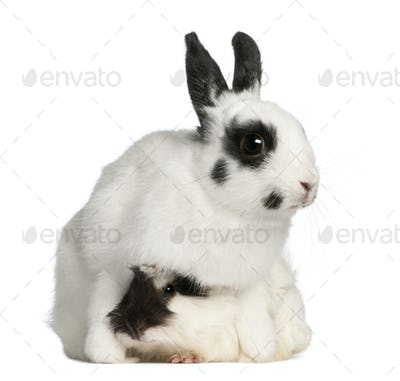 Dalmatian rabbit, 2 months old, and an Abyssinian Guinea pig, Cavia porcellus, sitting