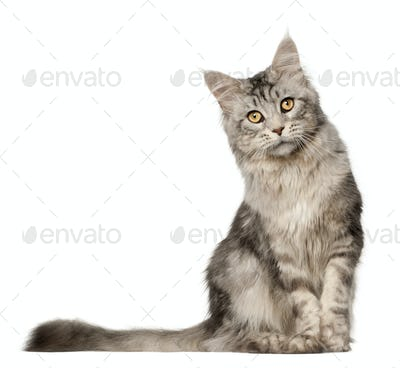Maine Coon cat, 1 year old, sitting in front of white background