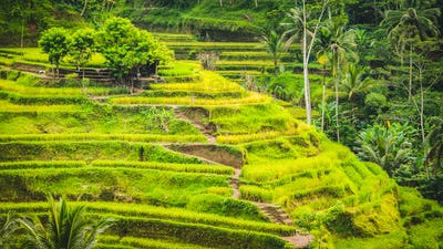 Tegalalang Rice Terrace Fields and some Palm Trees Around, Ubud, Bali, Indonesia