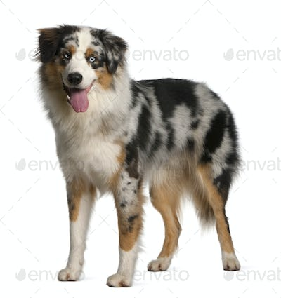 Australian Shepherd dog, 12 months old, standing in front of white background