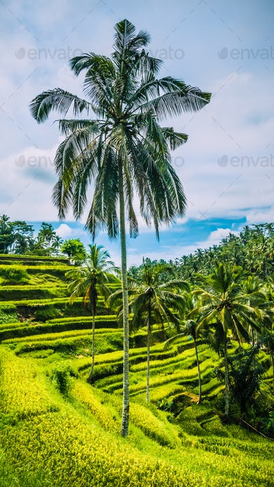 Lonely Nice Tall Palm with Big Branches in Amazing Tegalalang Rice Terraces, Ubud, Bali, Indonesia