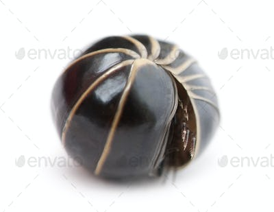 Glomeris marginata rolling itself up into a ball. Is a common European species of pill millipede