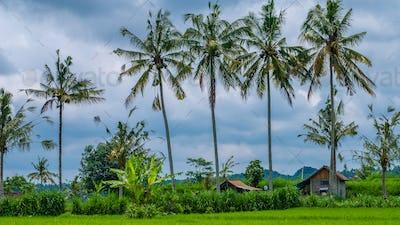 Some Coconut Palm Trees near Rice tarrace, Sidemen. Bali, Indonesia