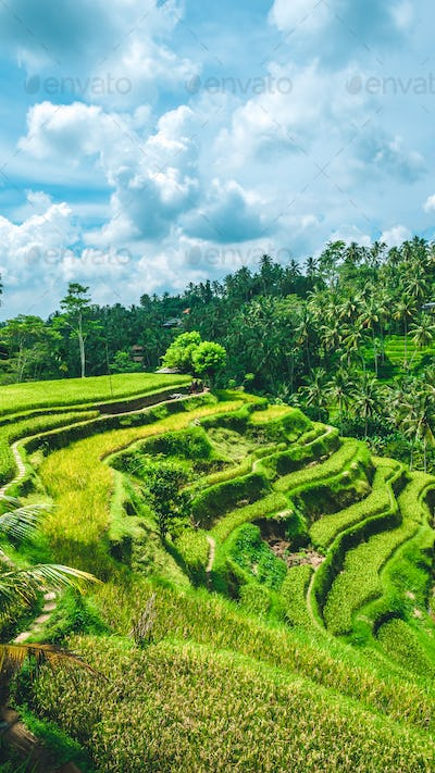Moving rainy clouds over amazing tegalalang Rice Terrace field with beautiful palm trees growing in