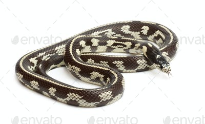 Abberant eastern kingsnake or common kingsnake, Lampropeltis getula californiae