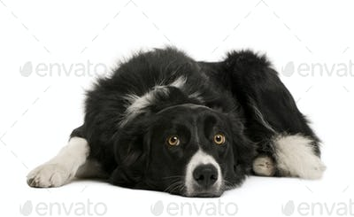 Border collie, 7 months old, sitting in front of white background, studio shot