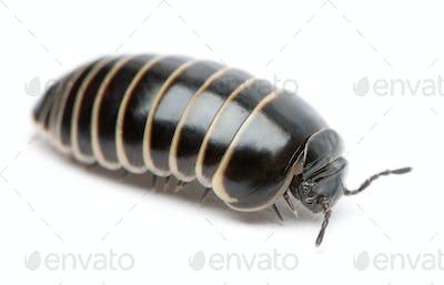 Glomeris marginata. Is a common European species of pill millipede