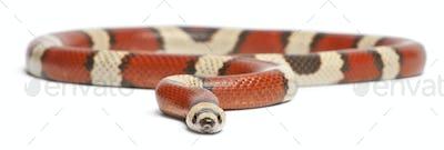 Tricolor vanishing Honduran milk snake, Lampropeltis triangulum hondurensis,
