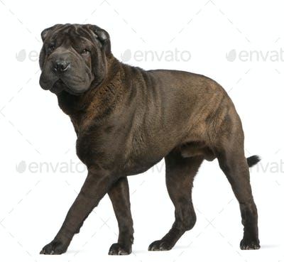 Shar Pei, 11 months old, standing in front of white background