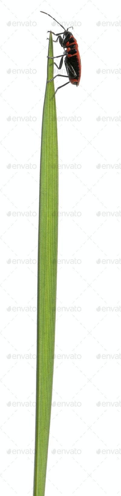Scentless plant bug, Corizus hyoscyami, on blade of grass against white background