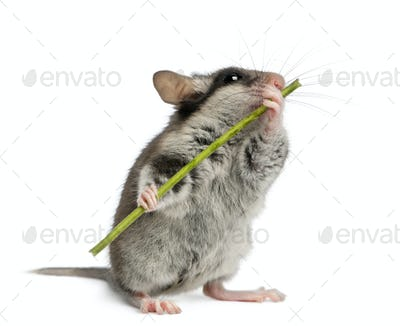 Garden Dormouse, Eliomys quercinus, 2 months old, holding and eating stem-