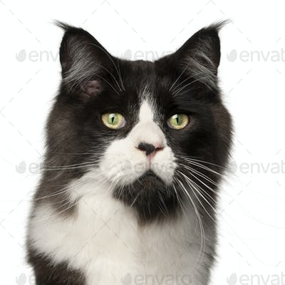 Maine Coon cat, 15 months old, in front of white background