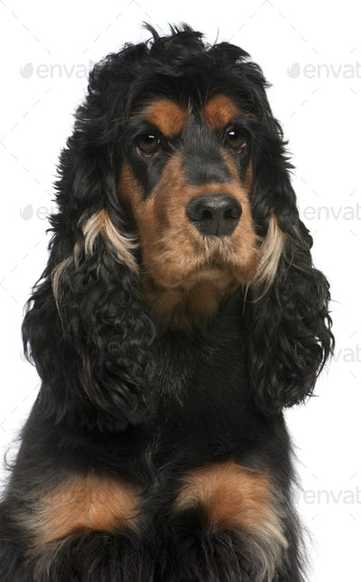 Close-up of English Cocker Spaniel, 2 years old, in front of white background