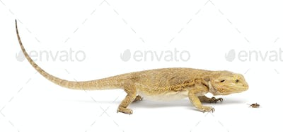 Central Bearded Dragon, Pogona vitticeps, chasing a cricket in front of white background