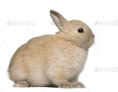 Young rabbit, sitting in front of white background