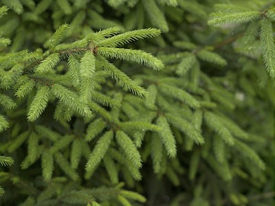 Background of fresh young spruce branches, natural light