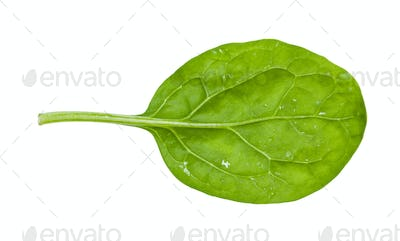 back side of green leaf of young spinach isolated