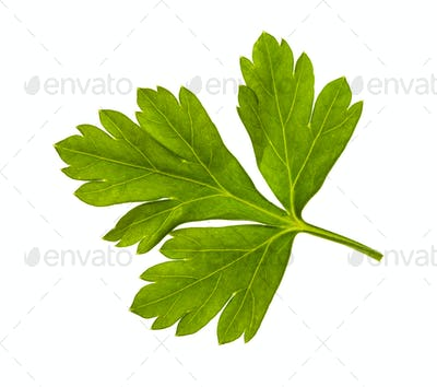 fresh green leaves of parsley herb isolated
