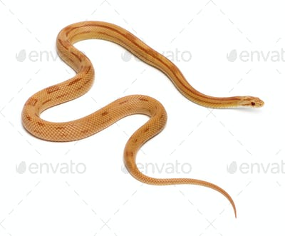 Pinstriped albino corn snake, Pantherophis guttatus, in front of white background