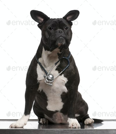Crossbreed dog, wearing a stethoscope against a white background