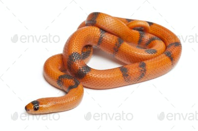 Tricolor Reverse Honduran milk snake, Lampropeltis triangulum hondurensis