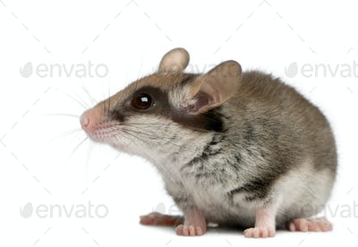 Garden Dormouse, Eliomys quercinus, 2 months old, in front of white background