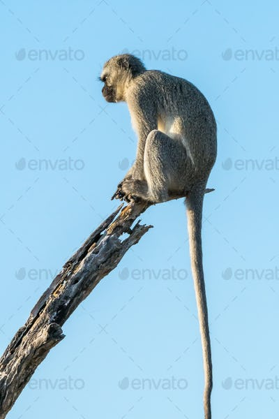 Vervet monkey on a dead tree branch