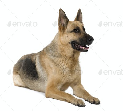 German Shepherd, 9 years old, sitting in front of white background, studio shot