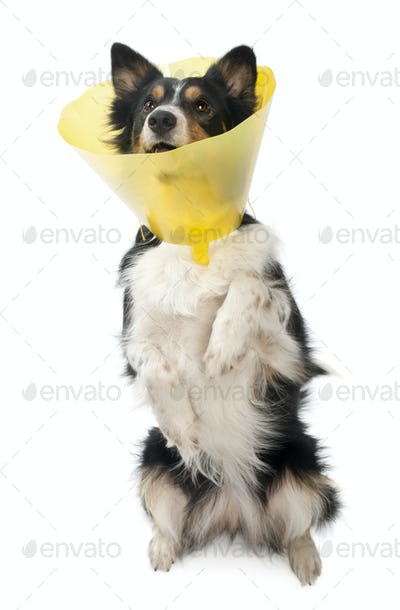 Border collie wearing a space collar on hind legs in front of white background