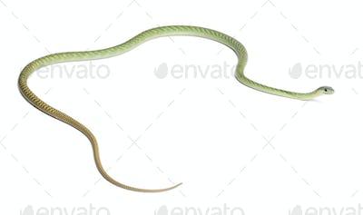 Western green mamba  - Dendroaspis viridis, poisonous, white background