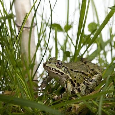 Common European frog or Edible Frog, Rana esculenta in grass, with mushroom